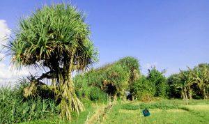 Mangrove Baros 2