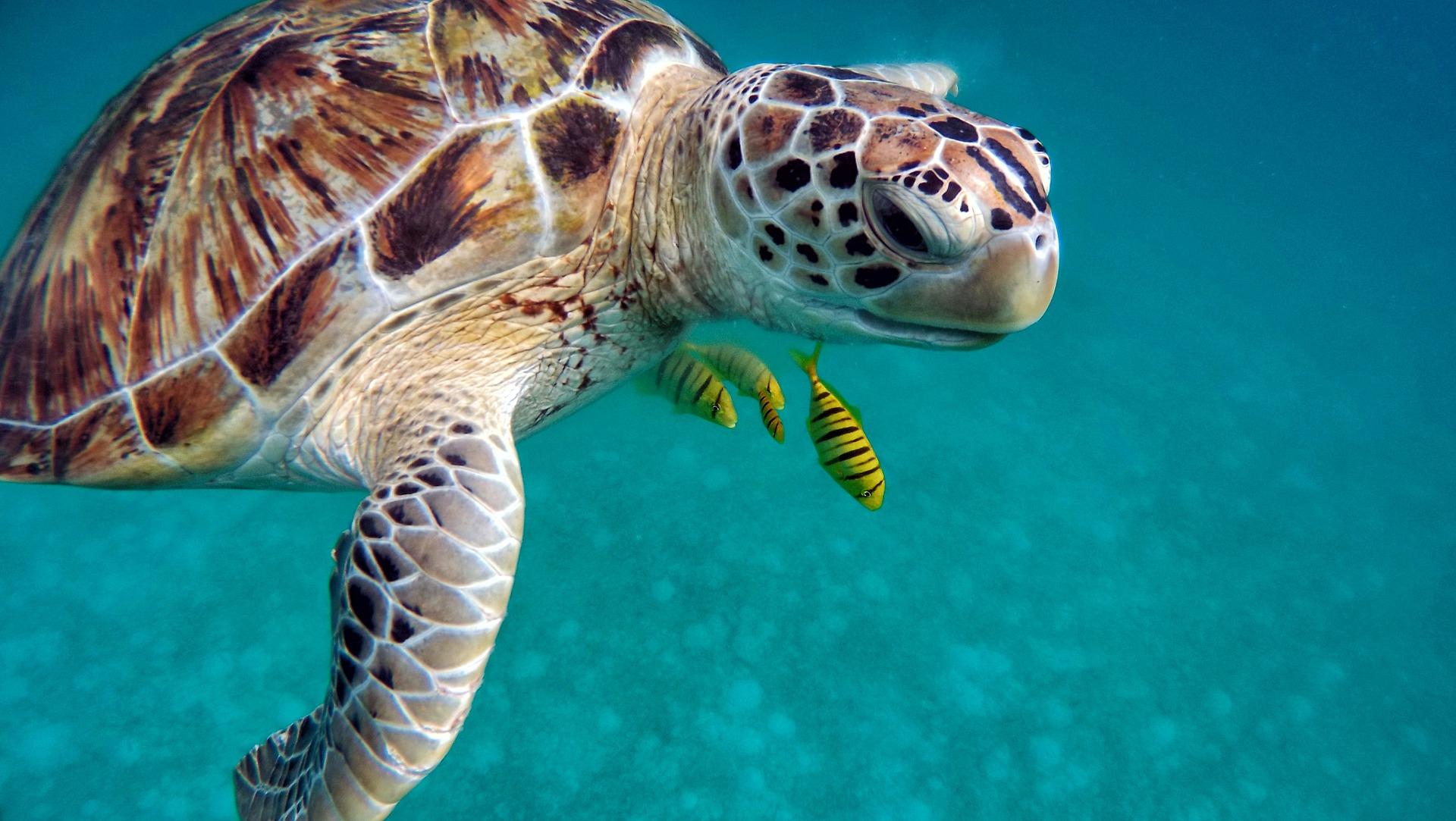 Penyu Si Penjaga Ekosistem Laut Dari Zaman Dinosaurus