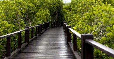 Pohon Mangrove mempunyai banyak manfaat bagi alam